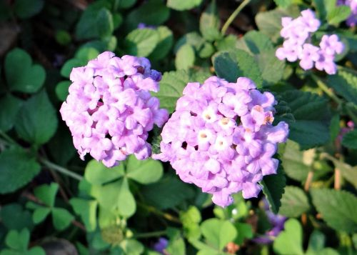 flower purple lantana lantana montevidensis