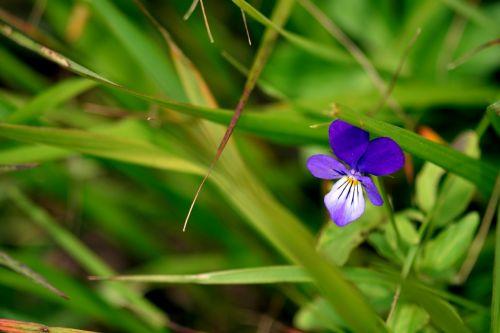 flower violet macro