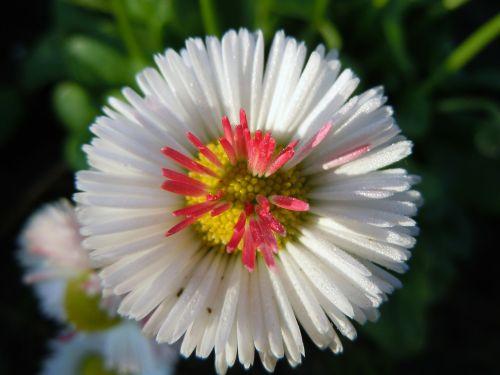 flower daisies bellie