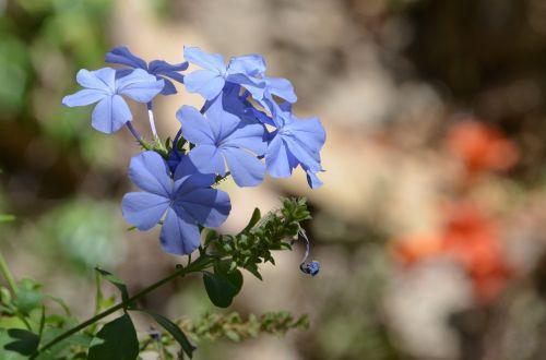 flower blue blossom