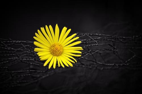 flower black blossom