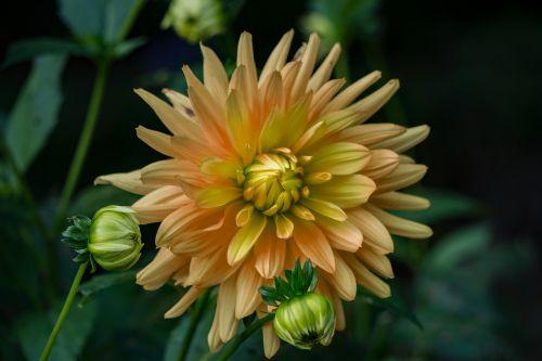 gėlė,gamta,augalas,flora,graži gėlė,žiedas,žydėti,žinoma,sodas,rožinė gėlė,geltona gėlė