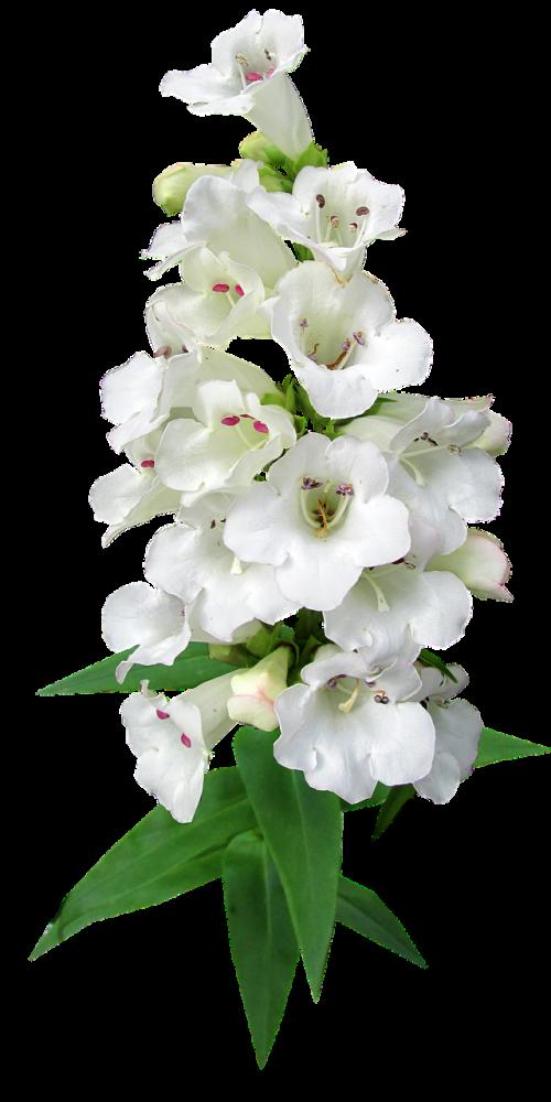 flower stem white