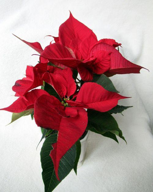 flower poinsettia red