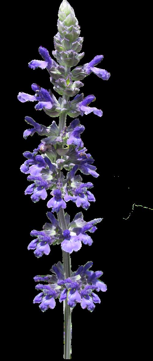 flower stem blue