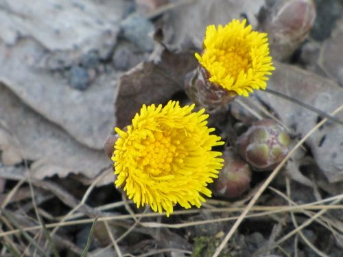 flower yellow coltsfoot