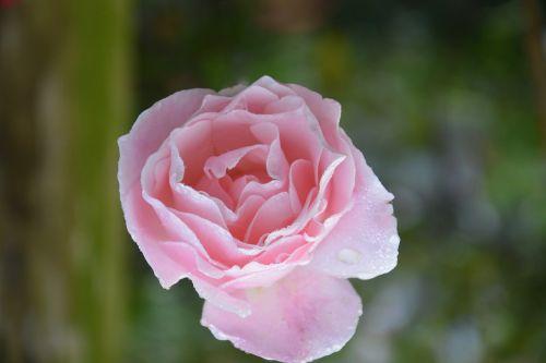gėlė,rožinis,spalva rožinė,sodas,rožinė gėlė,blyškiai rožinė,žiedlapiai,pasiūlymas,įvykiai,perinti,gamta