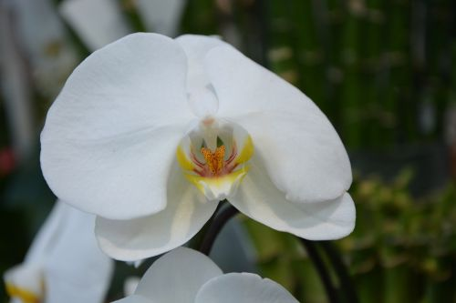 flower white orchid plant