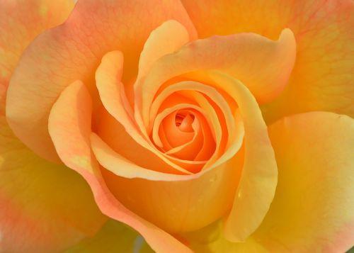 flower plant rose