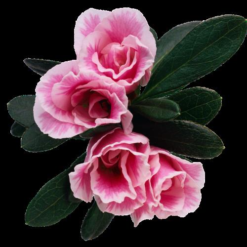 flower floral rosebush