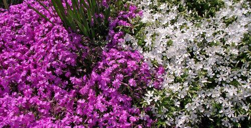 flower plant aubrieta deltoidea