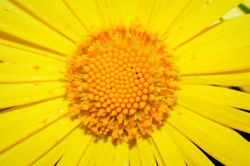 gėlė,geltona,pestle,tuti