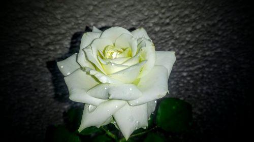gėlė, žiedlapis, rožė, meilė, romantika, be honoraro mokesčio