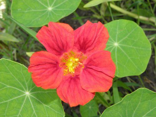flower nasturtium nature