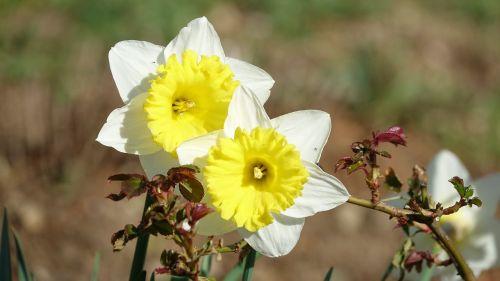 flower nature daffodils