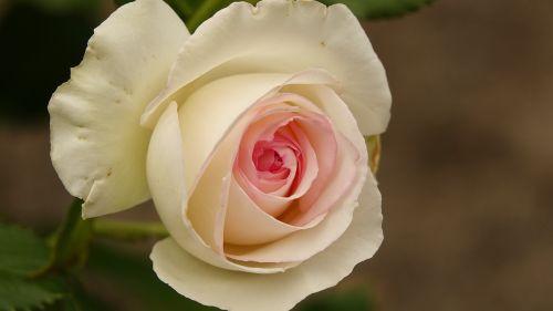 flower rosebush petal