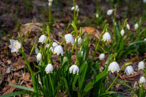 flower snowdrop nature