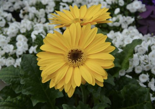 flower plant gerbera yellow