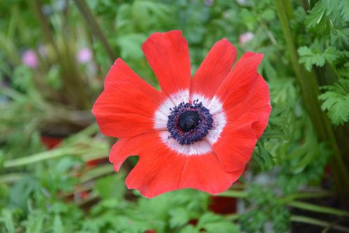 flower plant flower red anemone