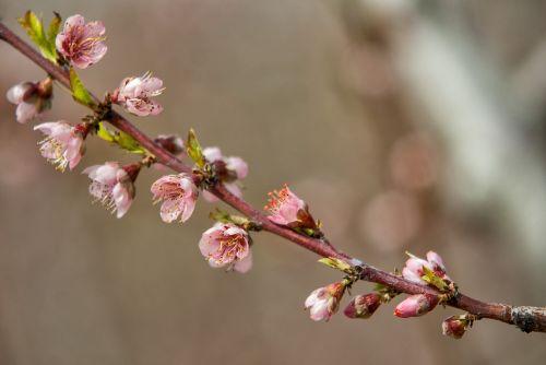 flower cherry branch