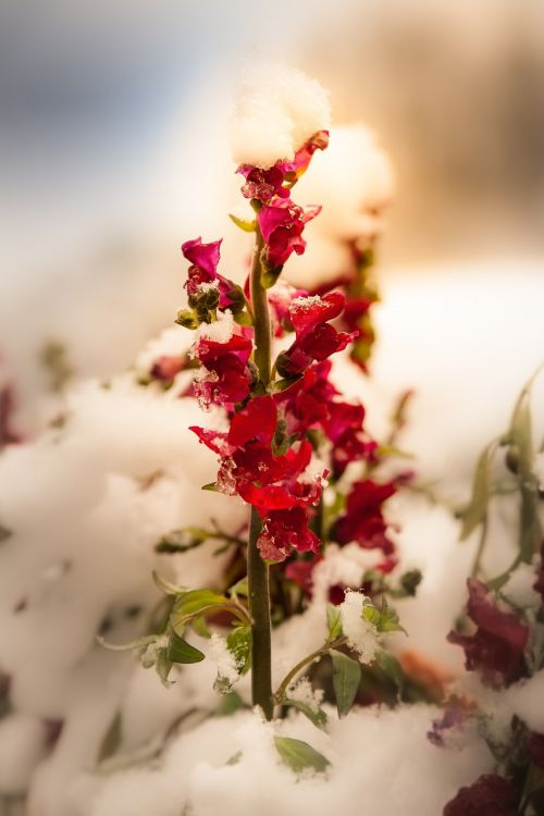 flower red winter snow