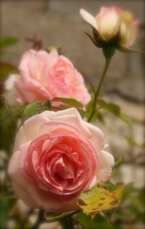 flower rosebush nature