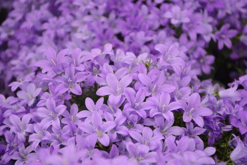 flower plant bellflowers purple