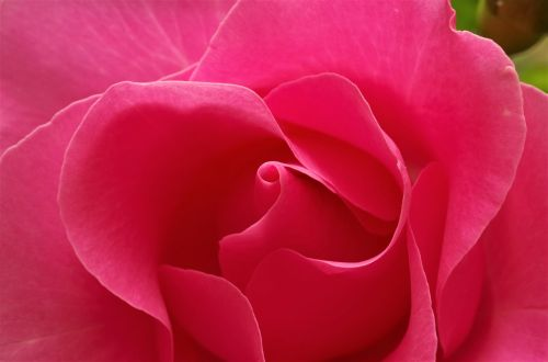 flower rosa