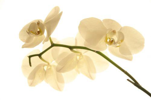 gėlė, gamta, žiedlapis, atogrąžų, augalas, orchidėja, botanika, atogrąžų žydėjimas, žiedas, žydėti, flora, grietinėlė, didelis raktas, apšvietimas, šviesa, graži, be honoraro mokesčio