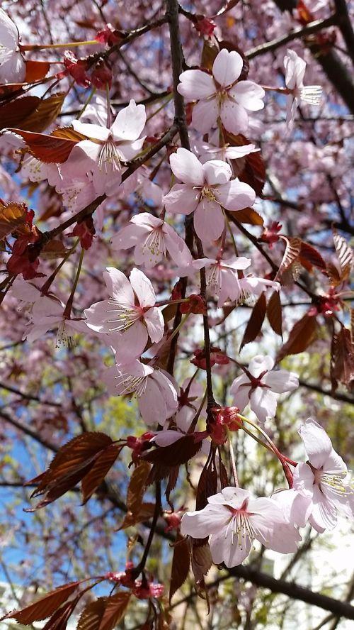 gėlė, vyšnia, medis, filialas, flora, žiedlapis, žydi, parkas, budas, be honoraro mokesčio