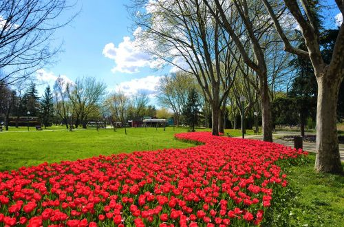 gėlė, sodas, augalas, gamta, parkas, tulpė, kraštovaizdis, žydi, žolė, be honoraro mokesčio
