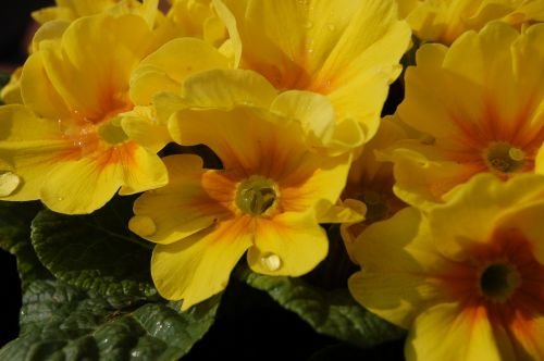 flower nature cowslip