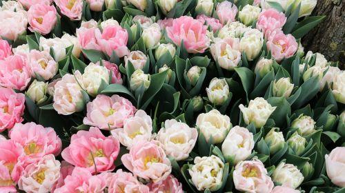 flower tulip plant