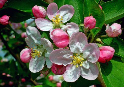 flower apple nature