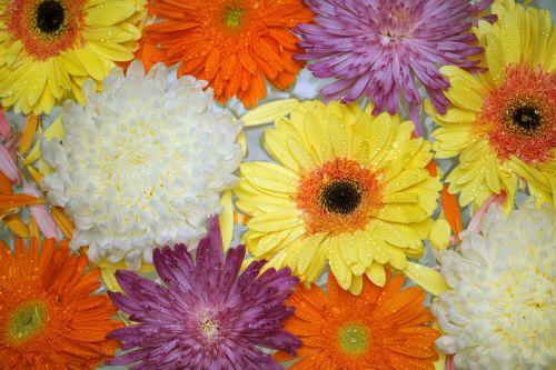 flower gerbera floral