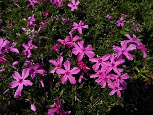 gėlė, augalas, gamta, lauke, be honoraro mokesčio