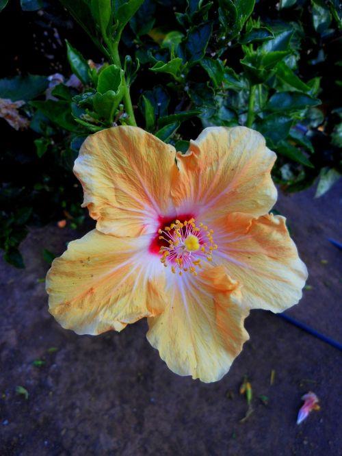 flower hibiscus tenerife