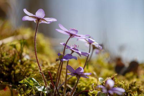 flower hepatica nature