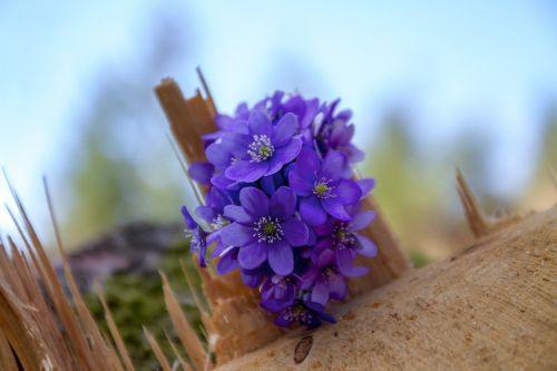 flower hepatica log