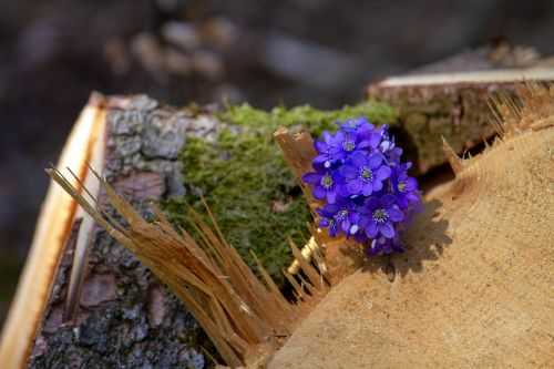 flower hepatica forest