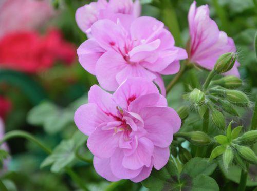 gėlė, geranium purpurinė rožinė, gamta, augalas, sodas, vasara, vasaros gėlė, masyvas, gėlių sodas, sodo gėlės, botanikos sodas, pavasario sezonas, vasaros sodas, graži, pavasaris, žydėjimas, žiedlapiai, be honoraro mokesčio