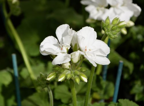 flower,geranium white,nature,plant,leaf,garden,green leaves