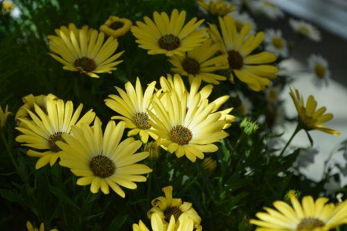flower plant osteospermum colour yellow nature