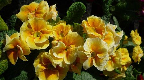 flower  primrose  cowslip