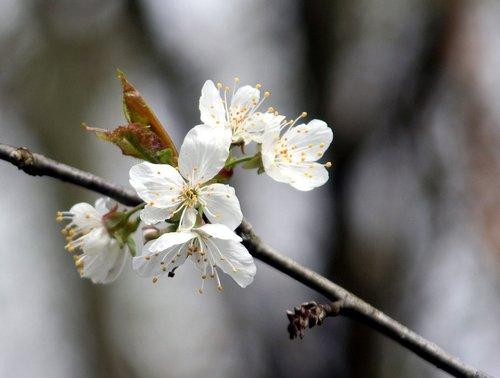flower  tree  branch