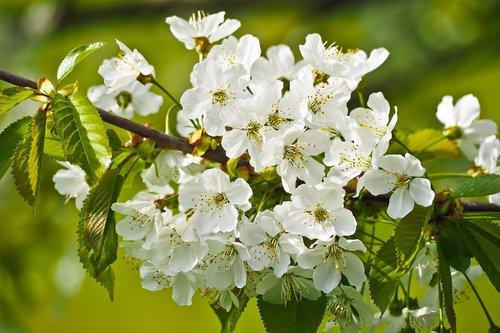 gėlė, pobūdį, medis, augalų, sezonas, gėlės, Žiedlapis, Iš arti, gėlių, BUD, spalva, šviežias, šviesus, pavasaris, žiedas, žydi, Sodas, vyšnia, vyšnios medis, vyšnių žiedas, baltos spalvos, Sode, frühlingsanfang, baltas žiedas, lapų, filialas, žalias