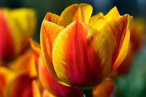 flower  tulip  nature
