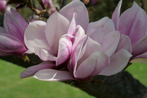 flower  plant  yolanda's-magnolia