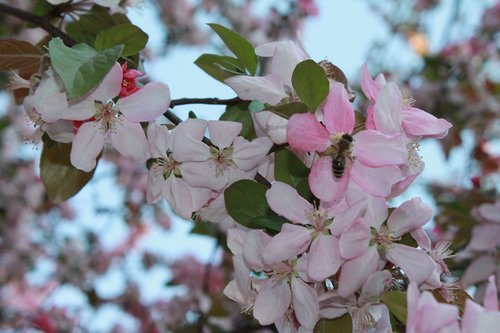 flower  tree  apple tree