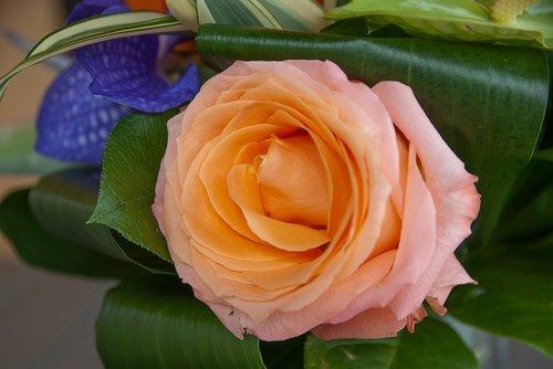 flower  pink  rosebush